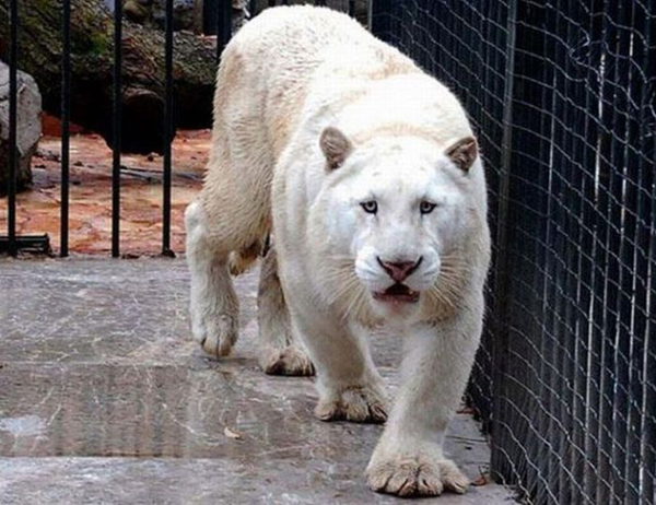 4815d948cc_08-A-very-rare-Tiger