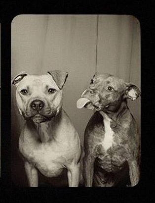 pit-bull-photo-love