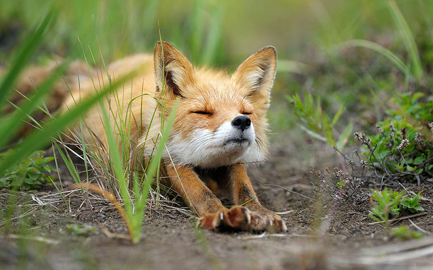 amazing-fox-photos-3