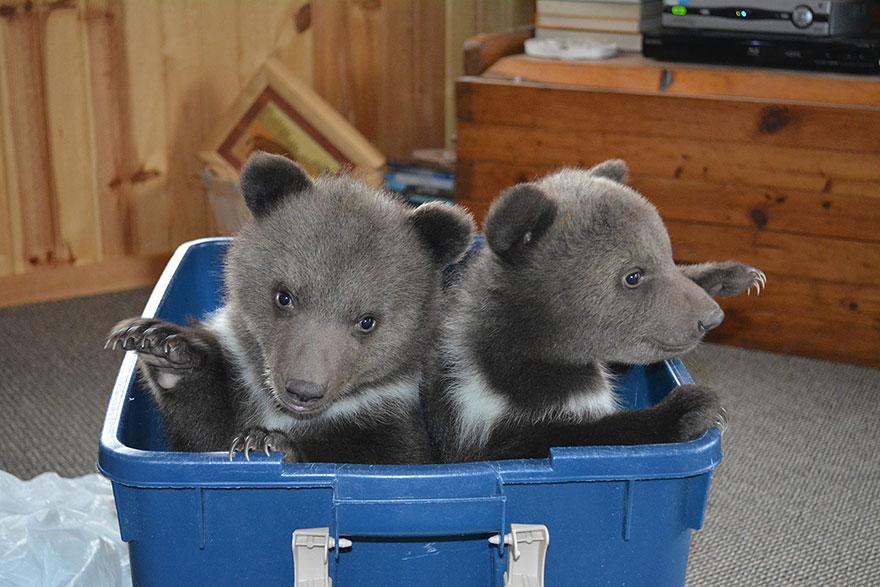 bear-cubs-shalom-wildlife-sanctuary-13