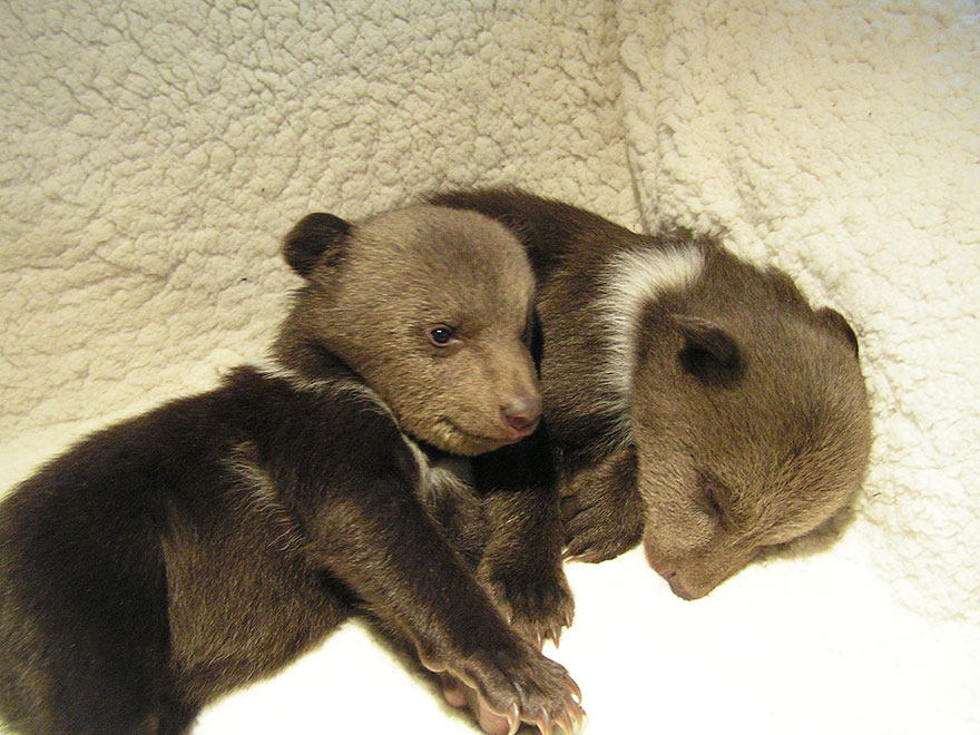 bear-cubs-shalom-wildlife-sanctuary-1__880
