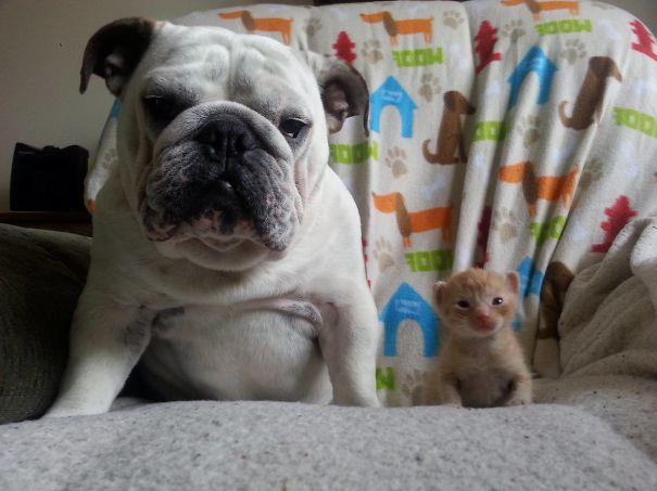 bulldog-hammie-foster-kittens-michelle-parden-1__605