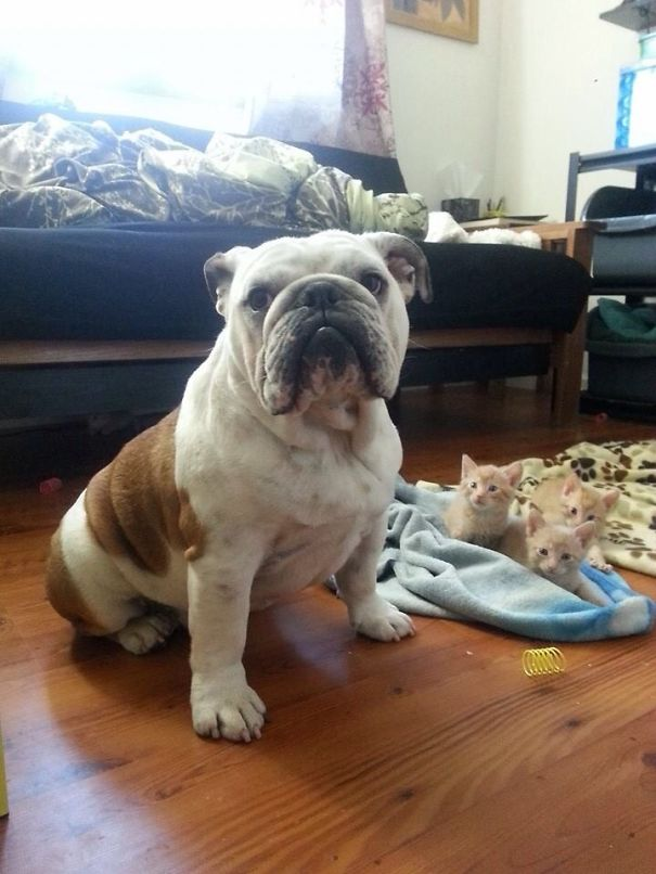 bulldog-hammie-foster-kittens-michelle-parden-2__605