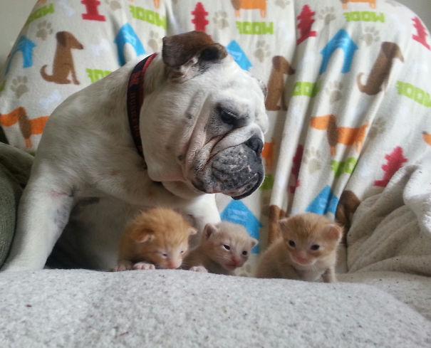 bulldog-hammie-foster-kittens-michelle-parden-3__605