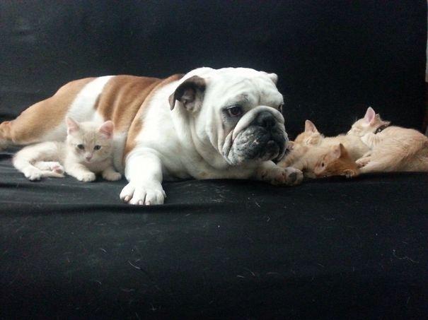bulldog-hammie-foster-kittens-michelle-parden-4__605