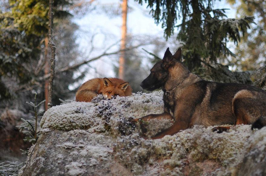 Linconsueta amicizia tra un cane norvegese e una volpe selvatica