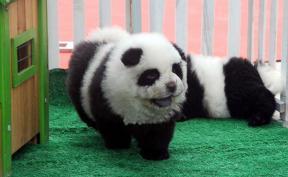 cani-chow-chow-cuccioli-panda