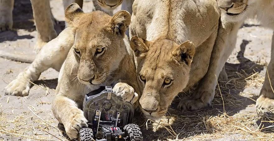 leoni-selvatici-foto-ravvicinate