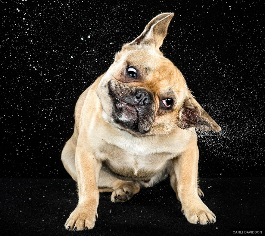 cani-che-agitano-la-testa