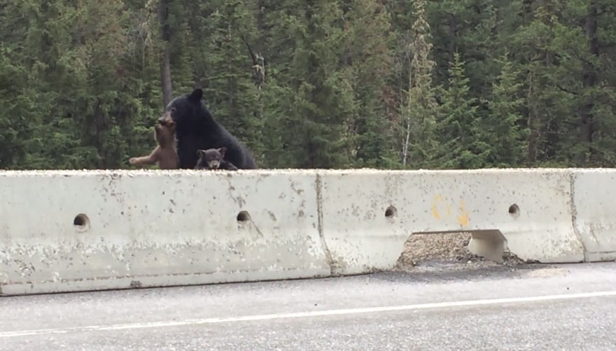 mamma-orso-salva-orsetto-strada-video