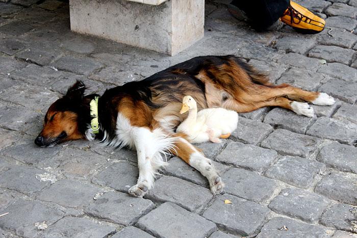 amicizia-cane-anatra-papera-parigi