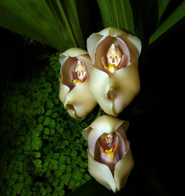 flowers-look-like-animals-people-monkeys-orchids-pareido_010