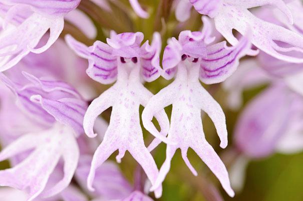 fiori-sembrano-animali-orchidee- scimmie-persone