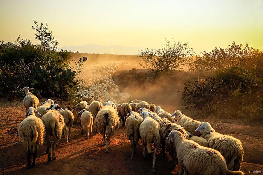 greggi-di-pecore-nel-mondo-09