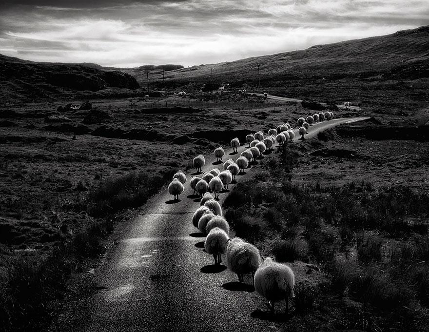 greggi-di-pecore-nel-mondo-10