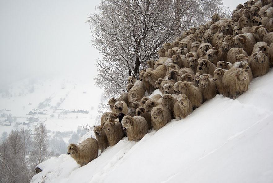 greggi-di-pecore-nel-mondo-12