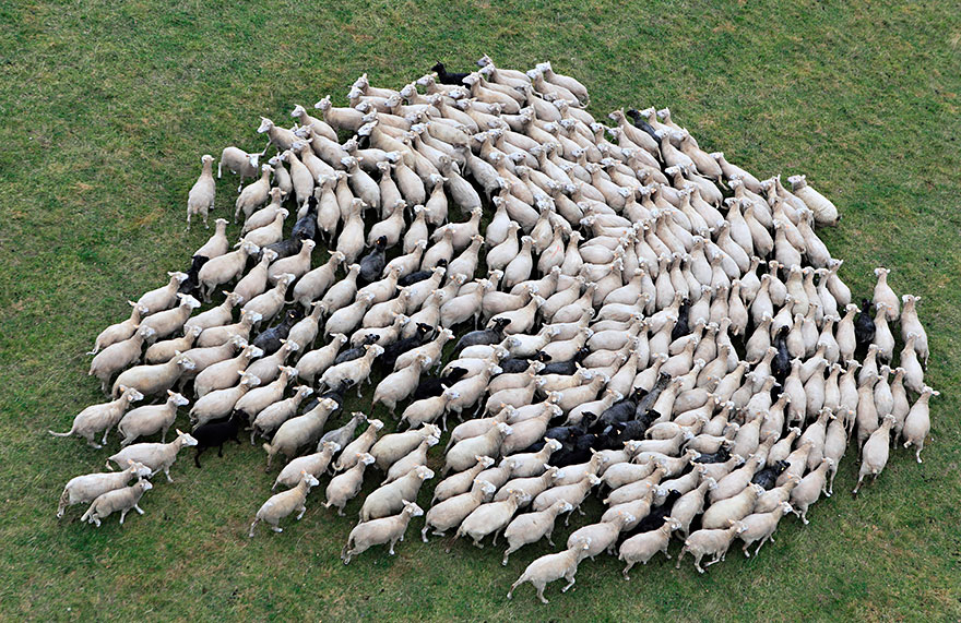 greggi-di-pecore-nel-mondo-15