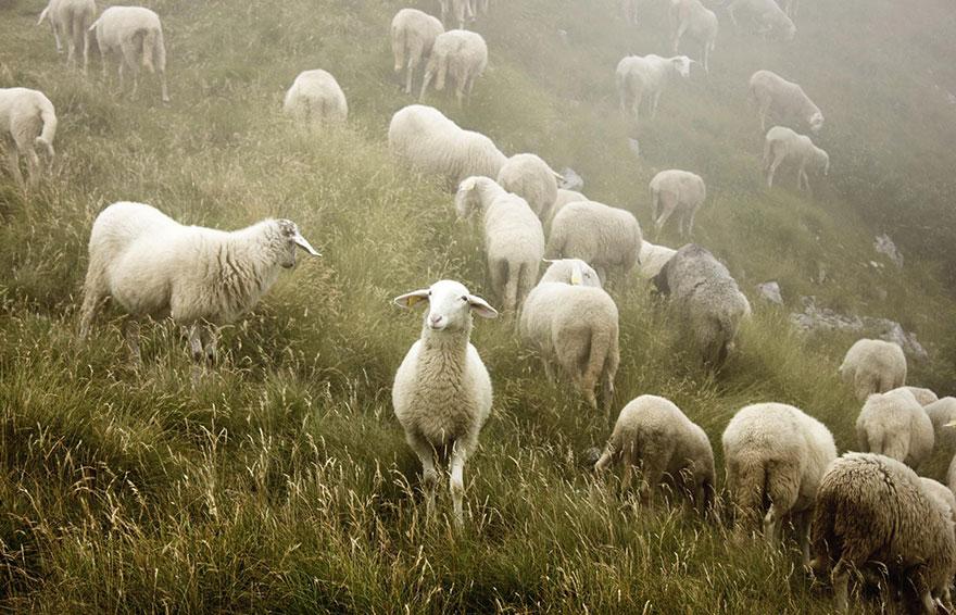 greggi-di-pecore-nel-mondo-19