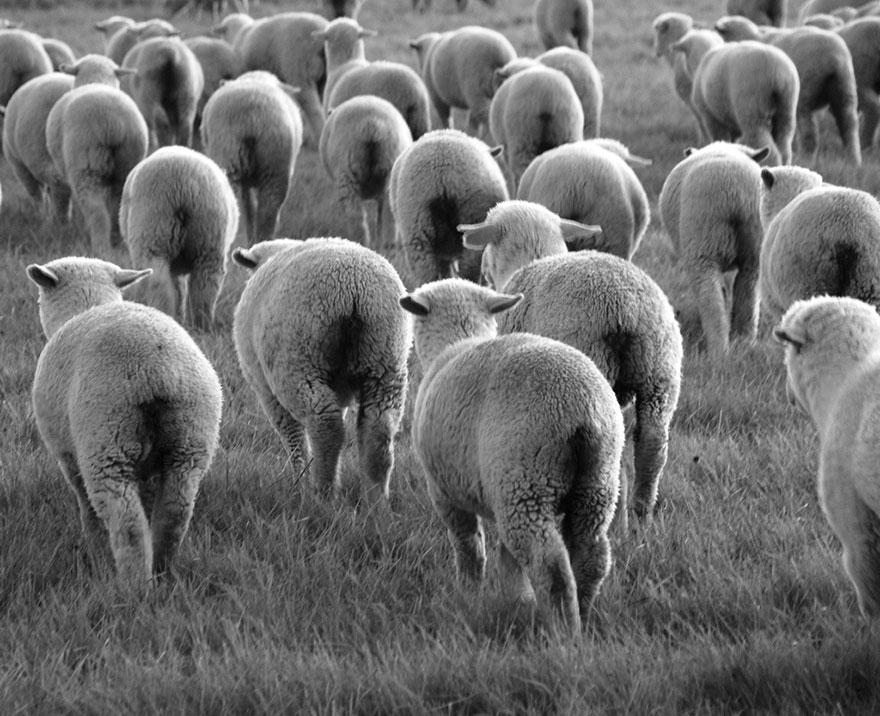 greggi-di-pecore-nel-mondo-20