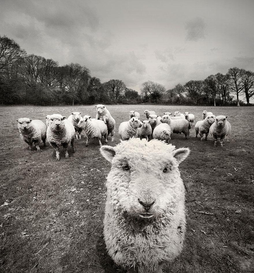 greggi-di-pecore-nel-mondo-21