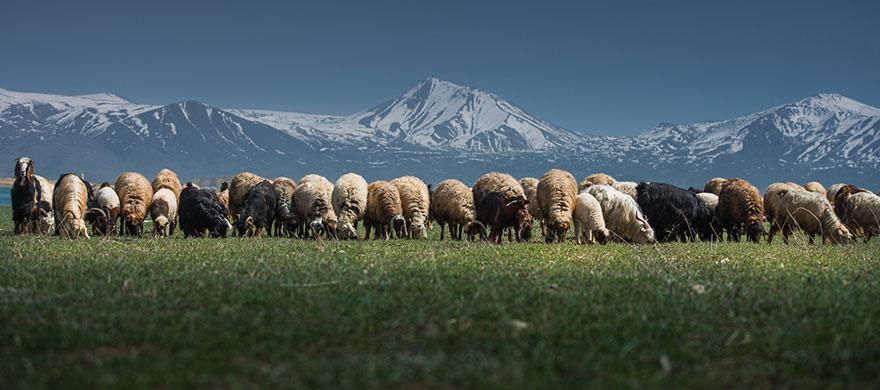 greggi-di-pecore-nel-mondo-22