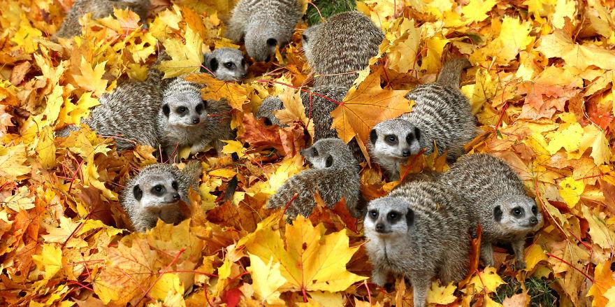Meerkats at Blair Drummond Safari Park