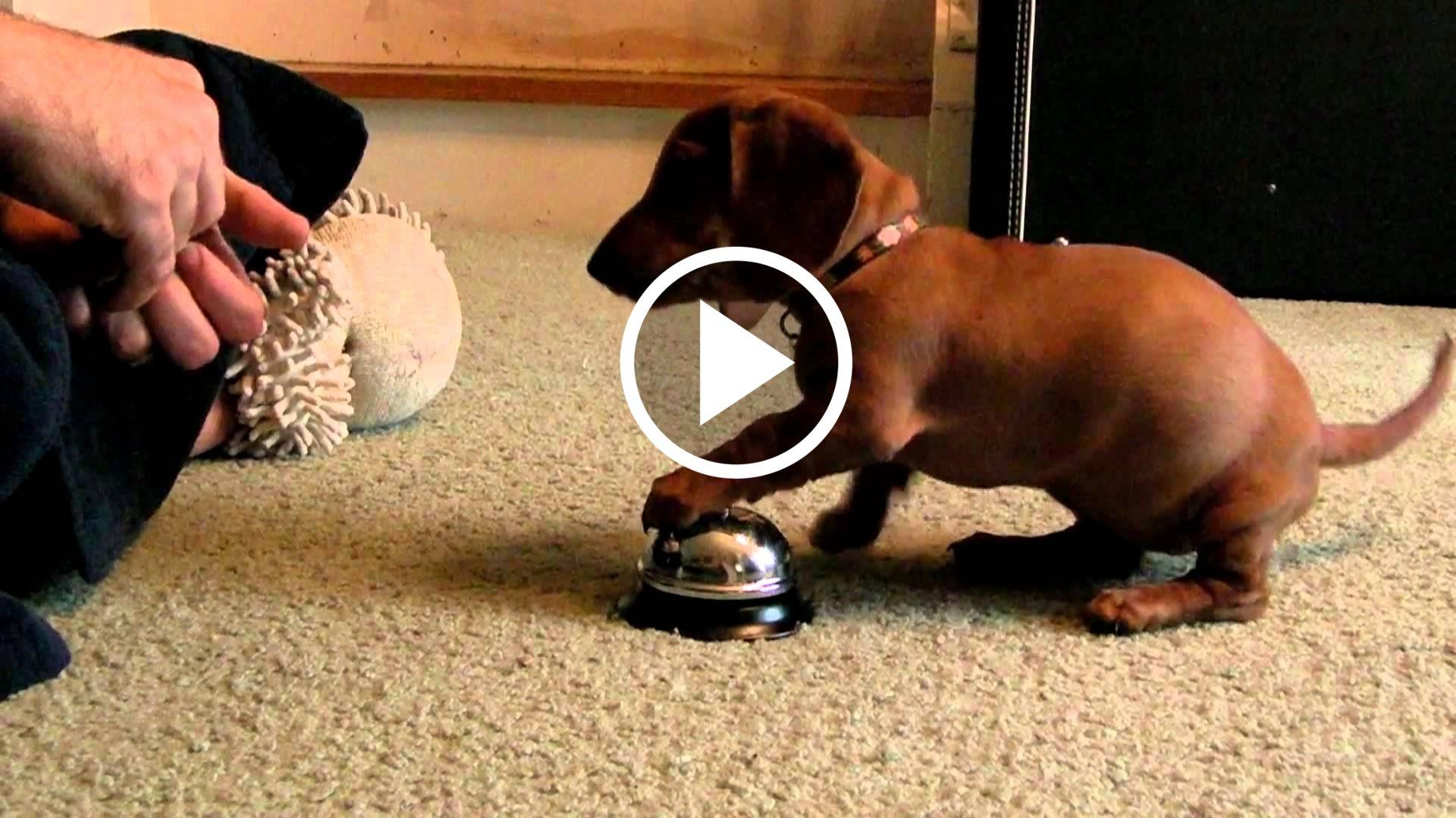 Questo cucciolo di cane bassotto viene addestrato a - Quando fare il primo bagno al cane ...