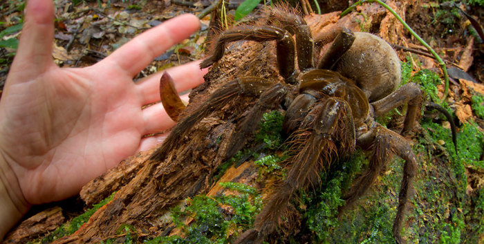 tarantola-gigante-sudamerica-4