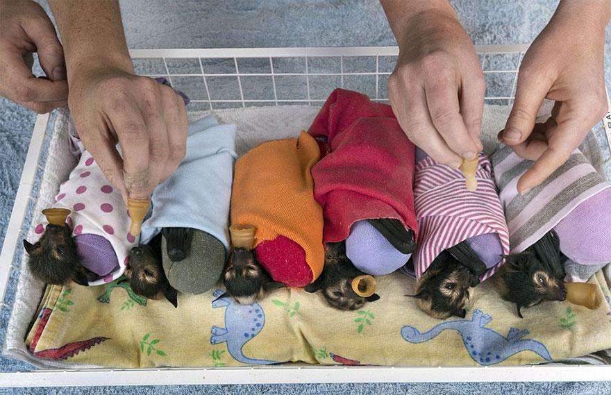 cuccioli-pipistrelli-abbandonati-tolga-bat-hospital-australia-03
