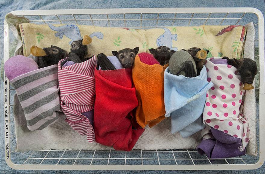 cuccioli-pipistrelli-abbandonati-tolga-bat-hospital-australia-05