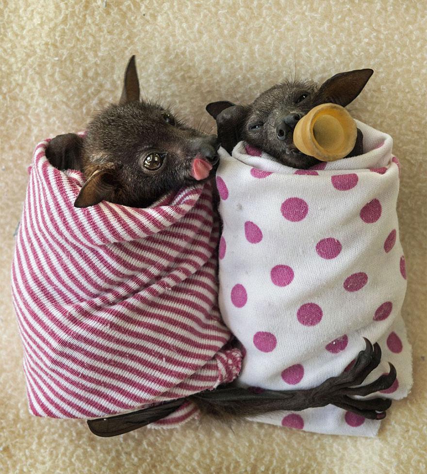 cuccioli-pipistrelli-abbandonati-tolga-bat-hospital-australia-06