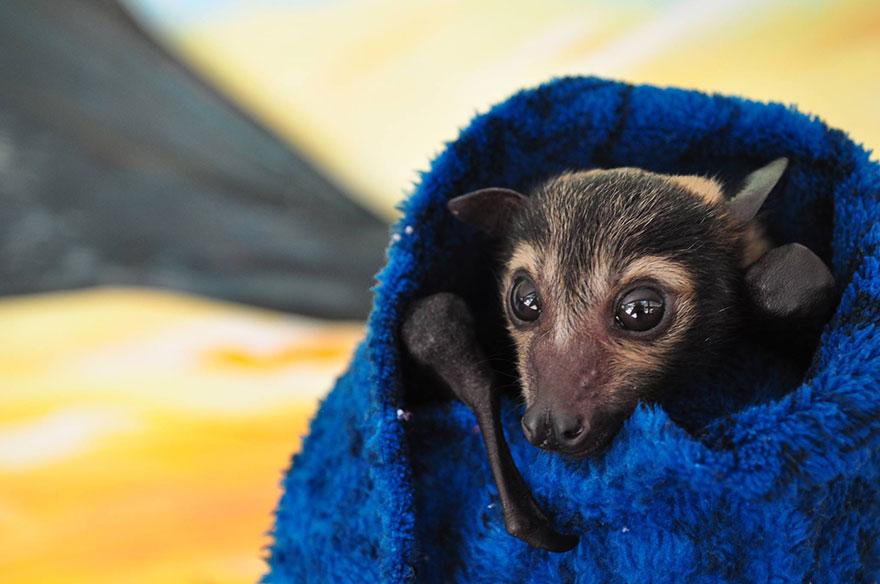 cuccioli-pipistrelli-abbandonati-tolga-bat-hospital-australia-07