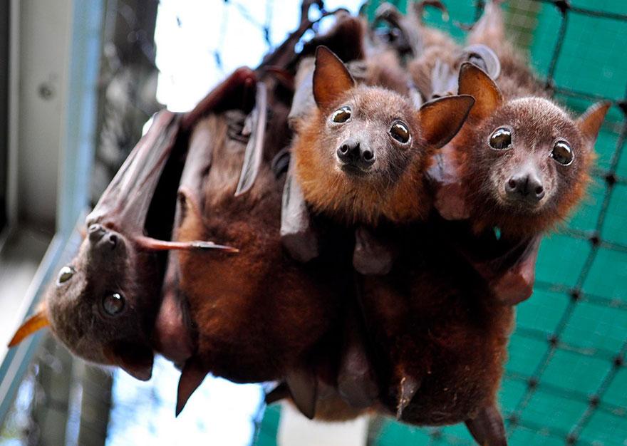 cuccioli-pipistrelli-abbandonati-tolga-bat-hospital-australia-08