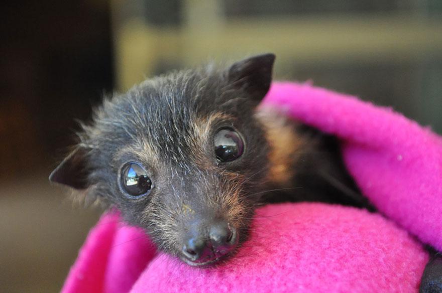 cuccioli-pipistrelli-abbandonati-tolga-bat-hospital-australia-09