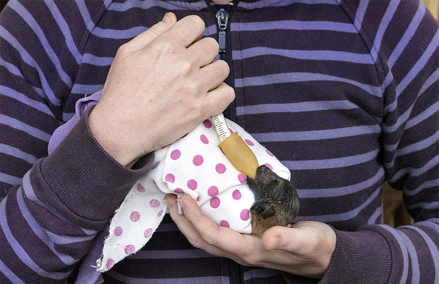 cuccioli-pipistrelli-abbandonati-tolga-bat-hospital-australia-11
