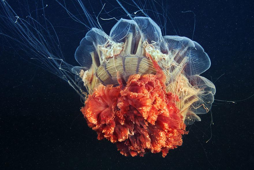 meduse-fotografia-abissi-alexander-semenov-aquatis-06