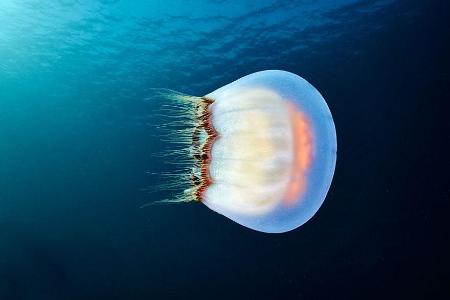 meduse-fotografia-abissi-alexander-semenov-aquatis-10