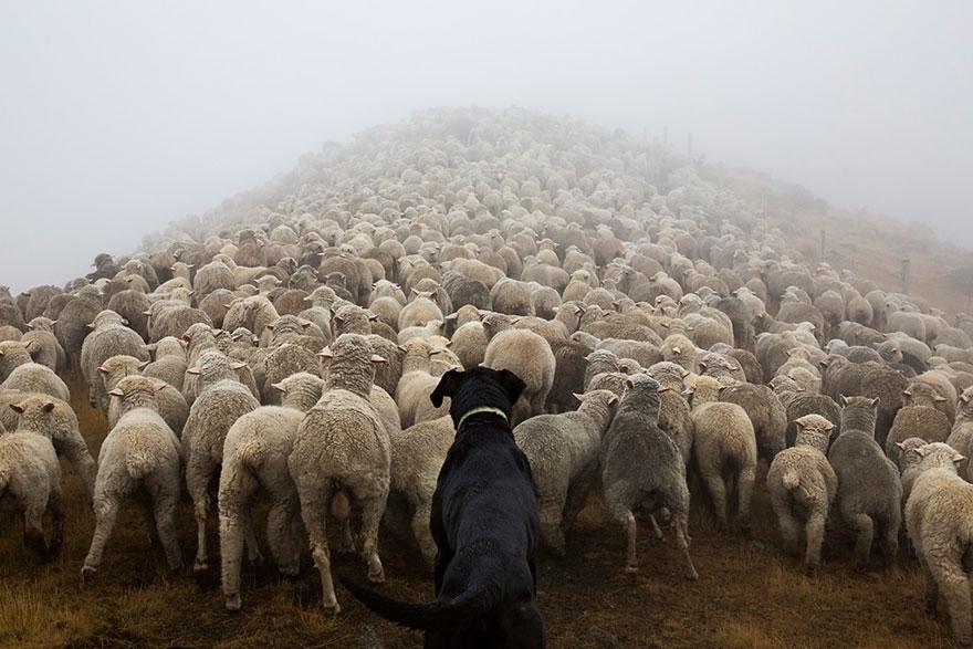 cani-lavoro-soccorso-pastori-foto-andrew-fladeboe-02