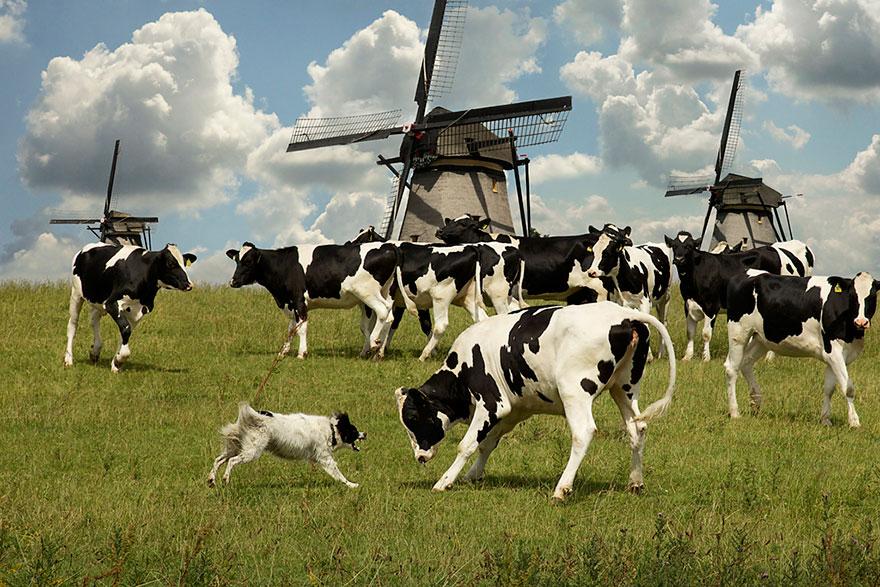cani-lavoro-soccorso-pastori-foto-andrew-fladeboe-05