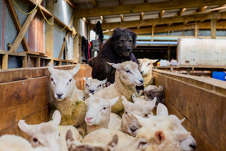 cani-lavoro-soccorso-pastori-foto-andrew-fladeboe-18