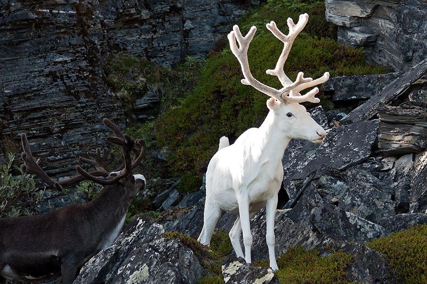 animali-albini-bianchi-04