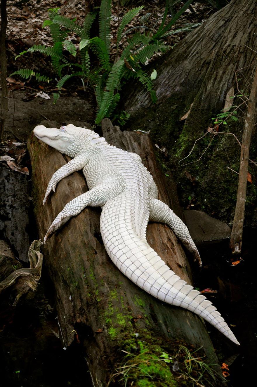 animali-albini-bianchi-05
