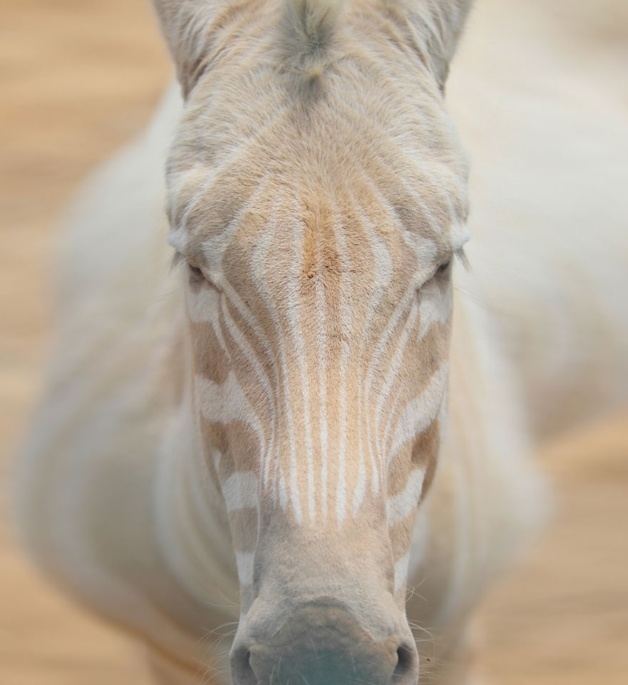 animali-albini-bianchi-12
