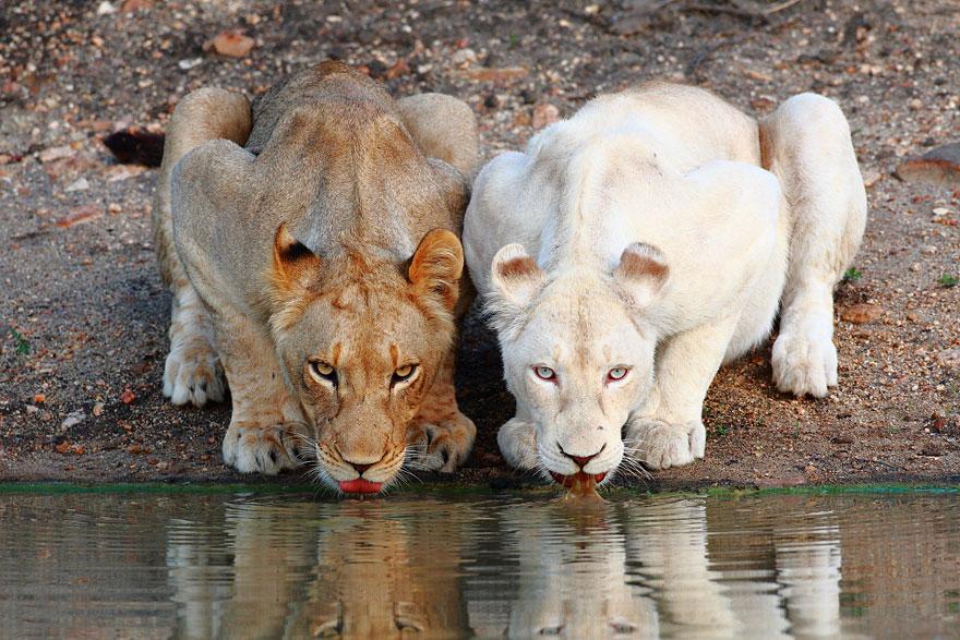 animali-albini-bianchi-18