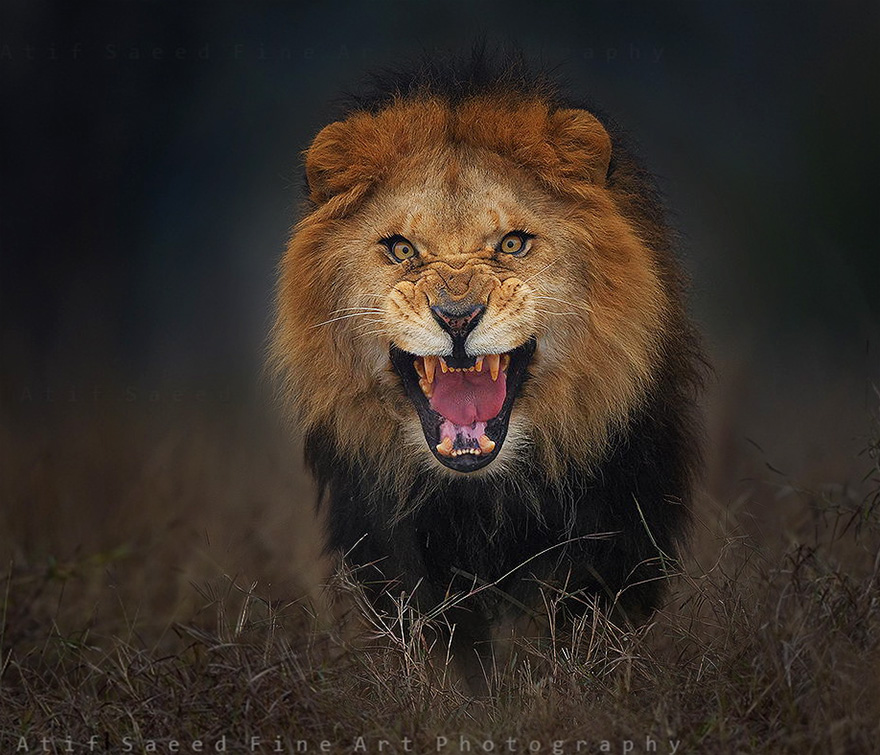 attacco-leone-foto-Atif-Saeed-2