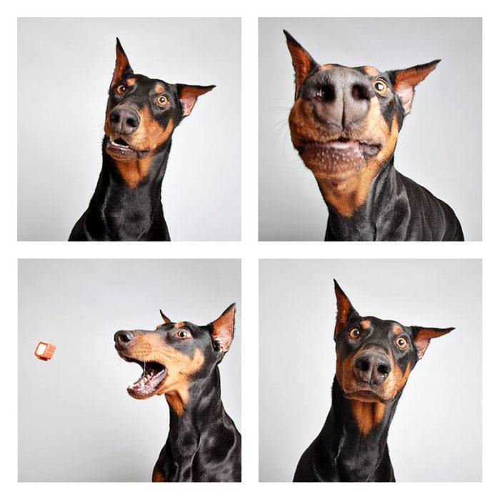foto-tessera-cani-divertenti-Guinnevere-Shuster-02