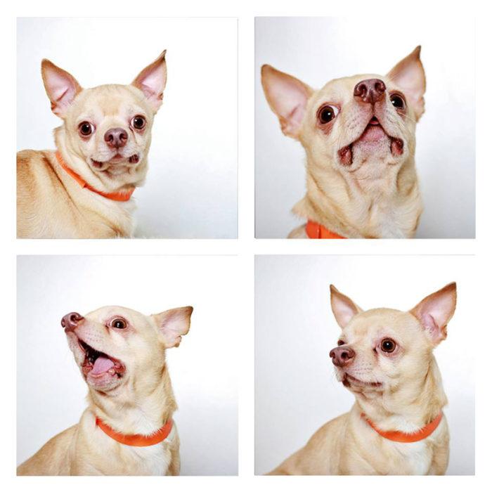 foto-tessera-cani-divertenti-Guinnevere-Shuster-03