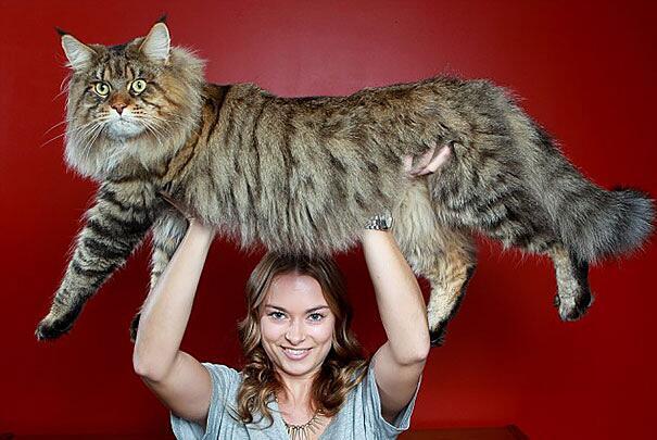 79 gatti giganti che non hanno idea di quanto siano enormi