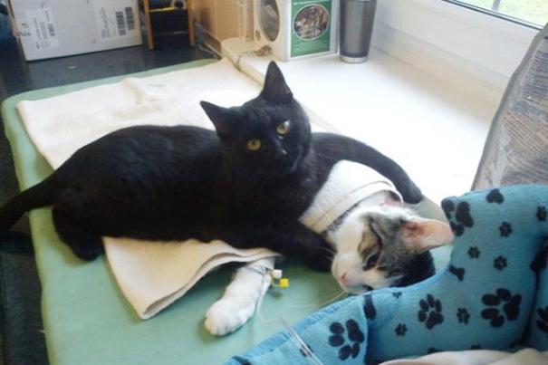 gatto-infermiere-veterninario-abbraccia-animali-malati-radamenes-3