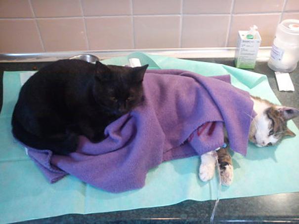 gatto-infermiere-veterninario-abbraccia-animali-malati-radamenes-4